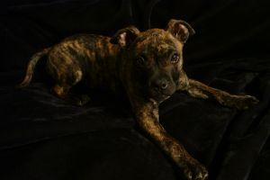 71621_pitbull_puppy.jpg